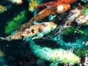 Rainbow Fish Cluster
