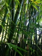 Bamboo Creaks and Bends